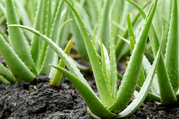 ALOE-V-Top 10 Indoor Plants that Produce the most Oxygen