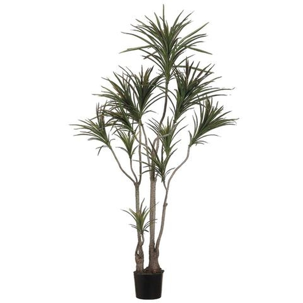 Dracaena-Top 10 Indoor Plants that Produce the most Oxygen