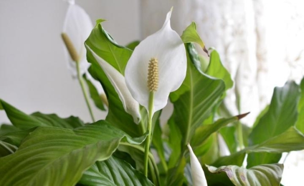 PEACE-Top 10 Indoor Plants that Produce the most Oxygen