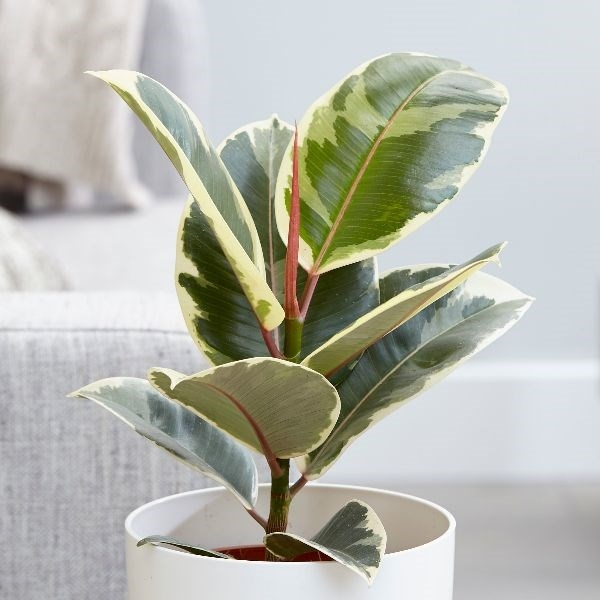 RUBBER-Top 10 Indoor Plants that Produce the most Oxygen